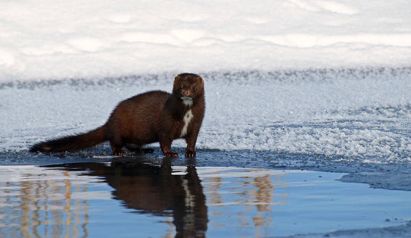 Photograph - Pretty Reflecting Mink by James Peterson