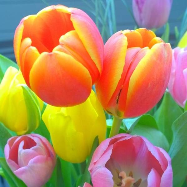 Flower Wall Art - Photograph - Pretty #spring #tulips Make Me Smile by Shari Warren