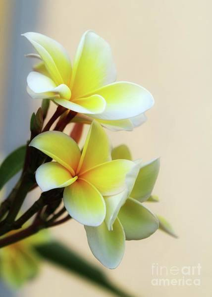 Photograph - Pretty Yellow Plumeria by Sabrina L Ryan