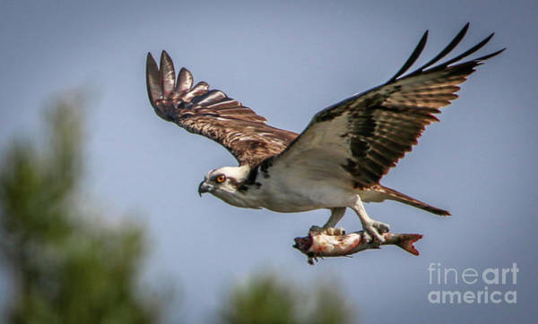 Photograph - Prey In Talons by Tom Claud