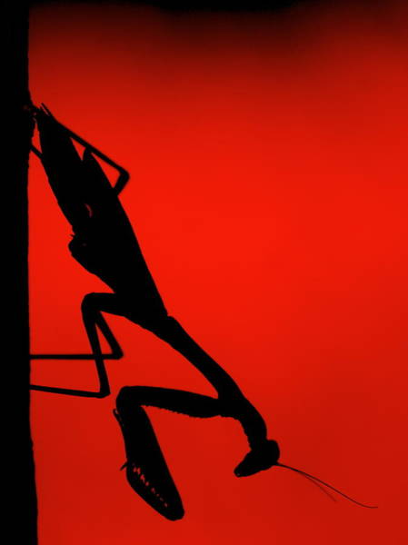 Wall Art - Photograph - Preying Mantiss by George Gries