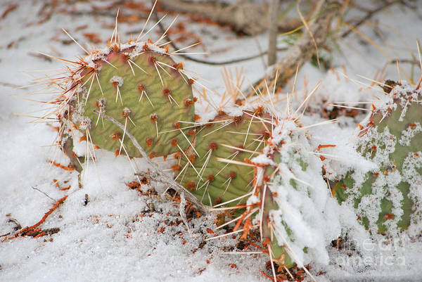 Photograph - Prickley Pear Cactus by Donna Greene
