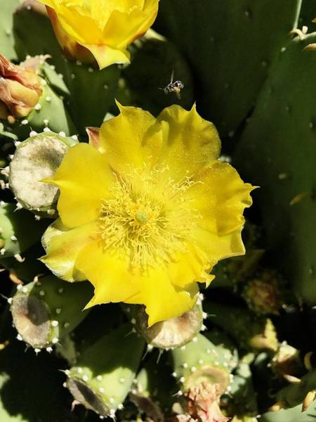 Photograph - Prickly Pear And The Bee by Brad Hodges