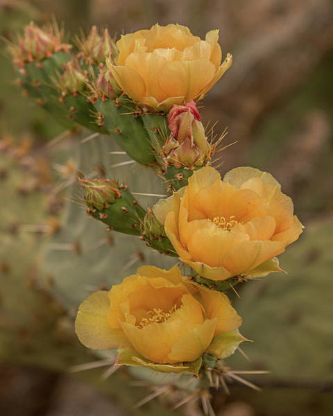 Photograph - Prickly Pear Blossom Trio by Teresa Wilson
