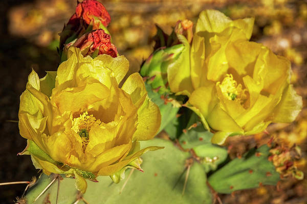 Photograph - Prickly Pear Blossoms H1815 by Mark Myhaver