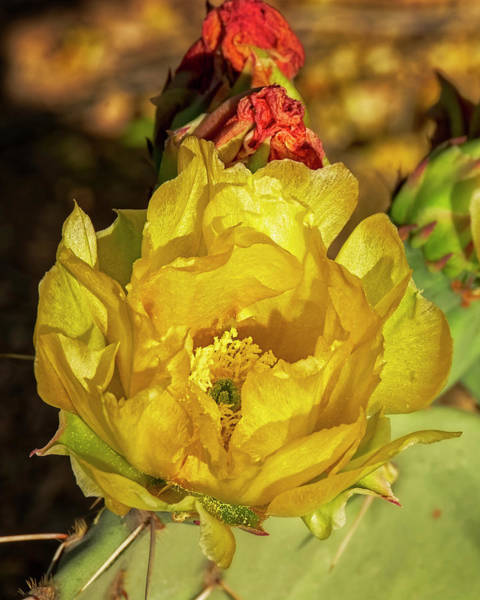 Photograph - Prickly Pear Blossoms V1815 by Mark Myhaver