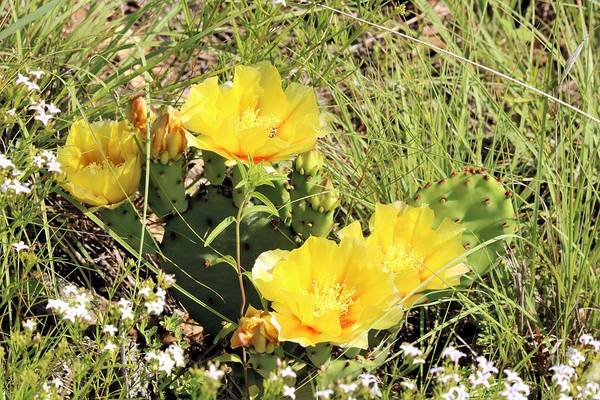 Photograph - Prickly Pear Cactus Blooms by Sheila Brown