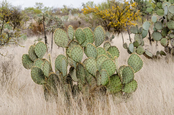 Photograph - Prickly Pear Cactus In Dry Grasslands. by Rob Huntley