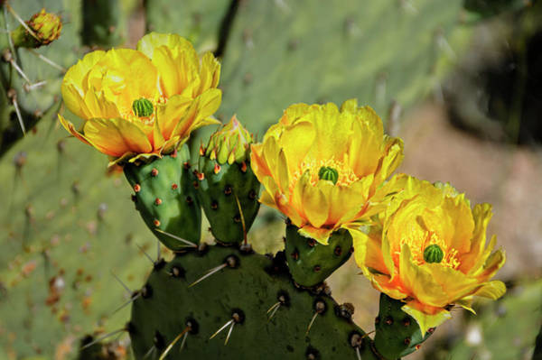 Photograph - Prickly Pear Flowers H42 by Mark Myhaver