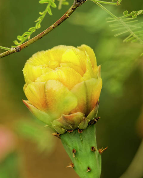 Photograph - Prickly Pear Flower V33 by Mark Myhaver