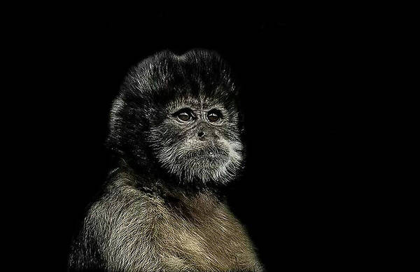Primate Photograph - Pride by Paul Neville