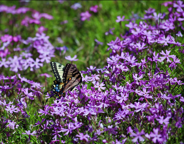 Photograph - Primrose And A Butterfly by Jill Lang