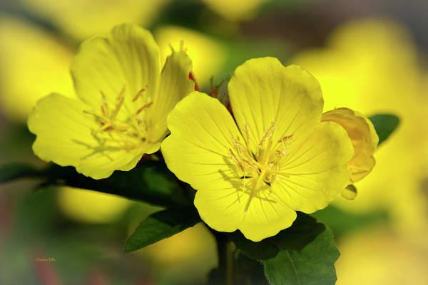 Photograph - Primrose Flowers by Christina Rollo