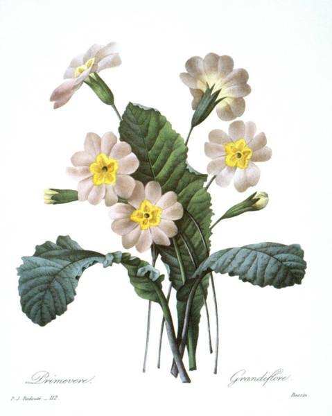 Photograph - Primrose (primula Aucalis) by Granger