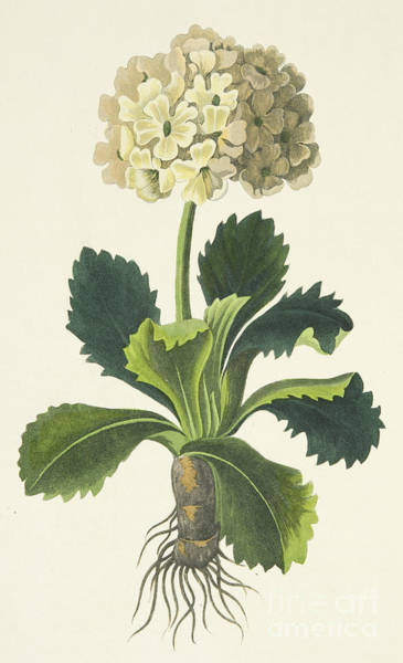 Wall Art - Painting - Primula Auricula by Margaret Roscoe