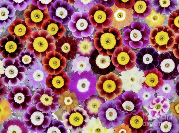 Photograph - Primula Auricula Pattern by Tim Gainey