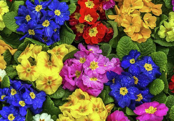 Flower Digital Art - Primula by Maye Loeser