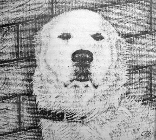 Golden Retriever Drawing - Prince by Conor O'Brien