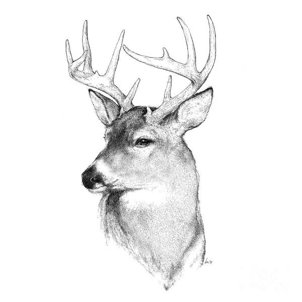 White Tailed Deer Drawing - Prince by Laurie Musser