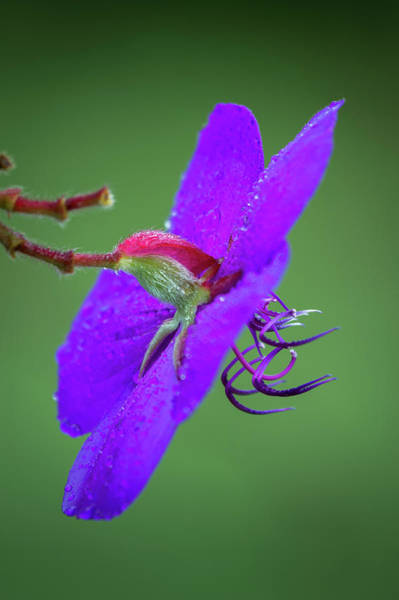 Photograph - Princess Flower, Nuwara Eliya, 2012 by Hitendra SINKAR