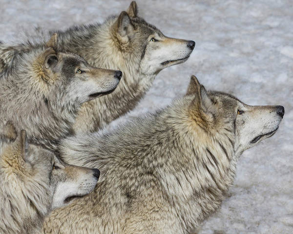 Timberwolves Photograph - Priority by Tony Beck