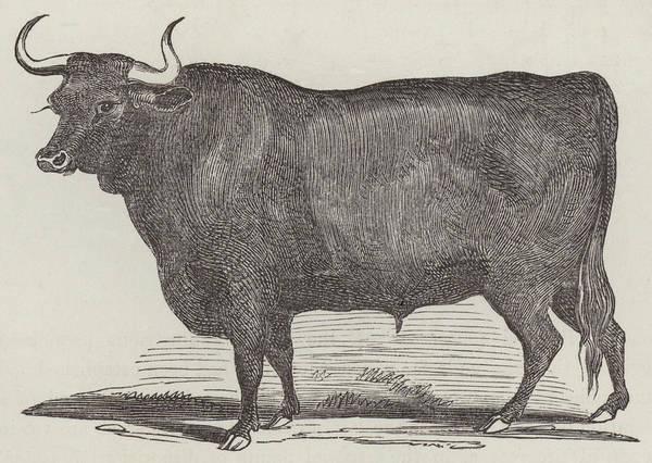 Hoof Drawing - Prize Devon Ox by English School