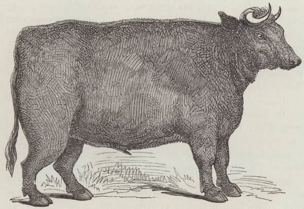 Hoof Drawing - Prize Ox by English School