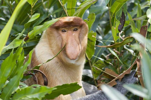 Nasalis Photograph - Proboscis Monkey Dominant Male Sabah by Suzi Eszterhas