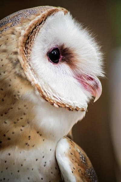 Photograph - Profile Of A Barn Owl by Don Johnson