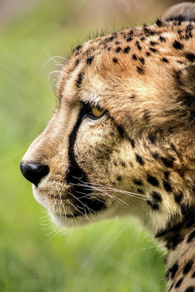 Photograph - Profile Of A Cheetah by Don Johnson