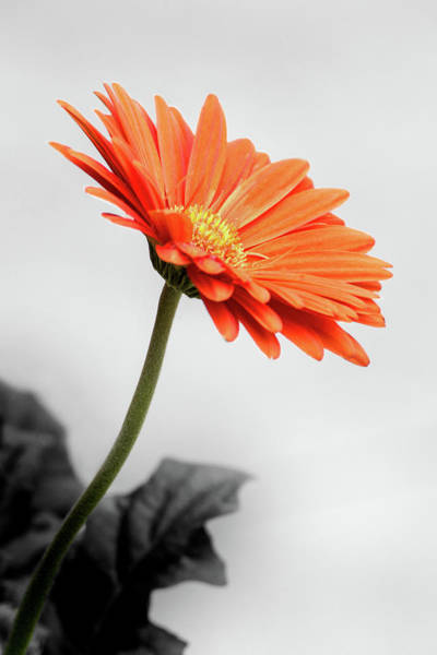 Photograph - Profile Of A Gerbera In Selective Color by Don Johnson