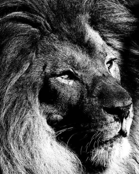 Photograph - Profile Of A King - Black And White by Wingsdomain Art and Photography