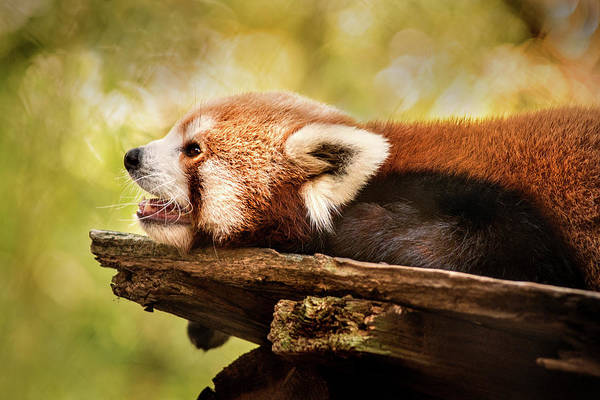 Photograph - Profile Of A Red Panda by Don Johnson