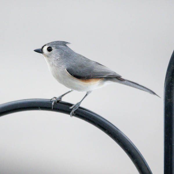 Photograph - Profile Of A Tufted Titmouse by Darryl Hendricks