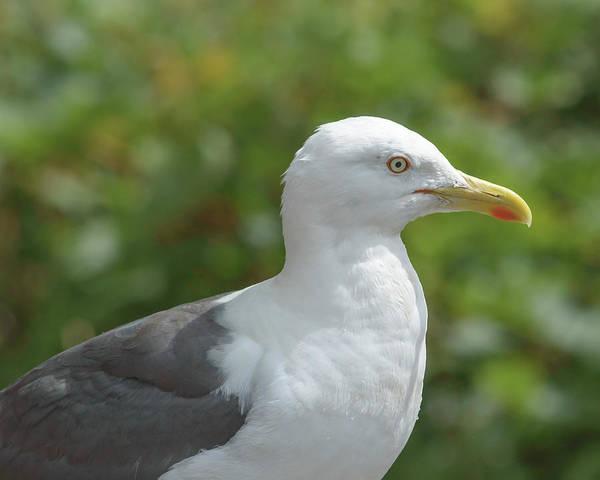 Photograph - Profile Of Adult Seagull by Jacek Wojnarowski
