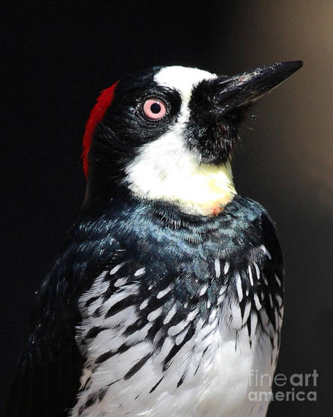 Photograph - Profile Of An Acorn Woodpecker by Wingsdomain Art and Photography