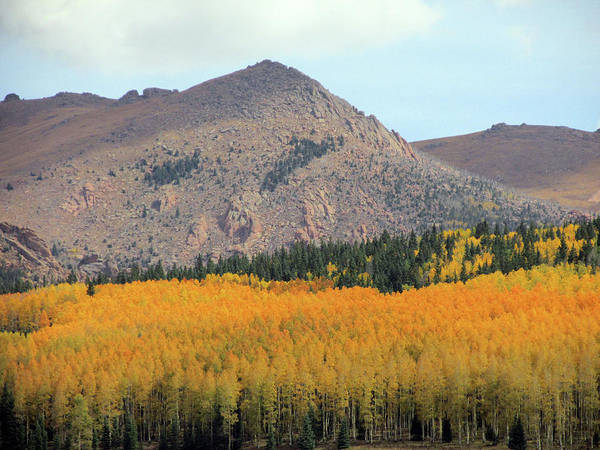 Photograph - Profusion Of Golden And Orange Aspens by Julia L Wright