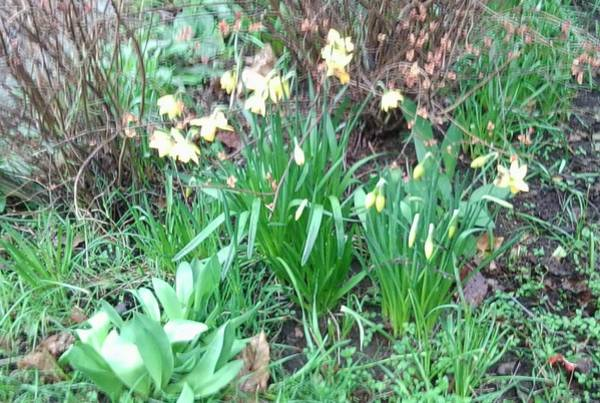 Photograph - Promise Of Spring Daffodils 1 by Julia Woodman