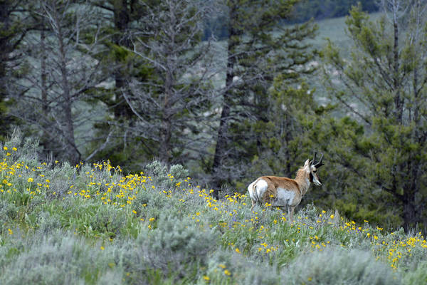 Photograph - Pronghorn And Flowers by Bruce Gourley