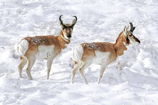 Pronghorn Antelope Wall Art - Photograph - Pronghorn Antelope Bucks In The Snow by Jennie Marie Schell
