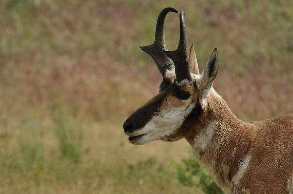 Photograph - Pronghorn Buck by Frank Madia