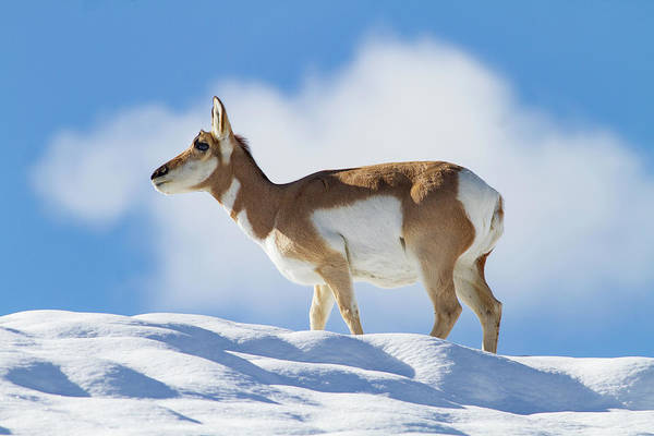 Pronghorn Doe On Snowy Ridge Art Print