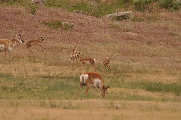 Photograph - Pronghorn Fawns At Play by Frank Madia