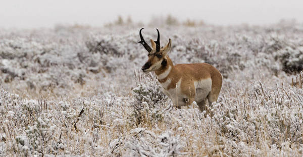 Photograph - Pronghorn by Ronnie and Frances Howard