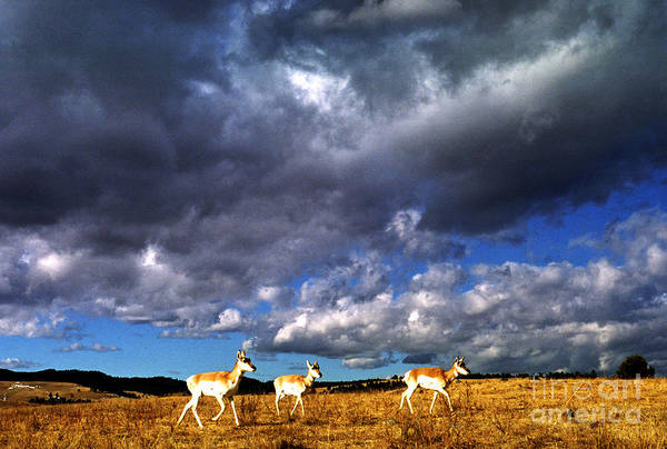 Photograph - Pronghorn Under Stormy Sky by Thomas R Fletcher