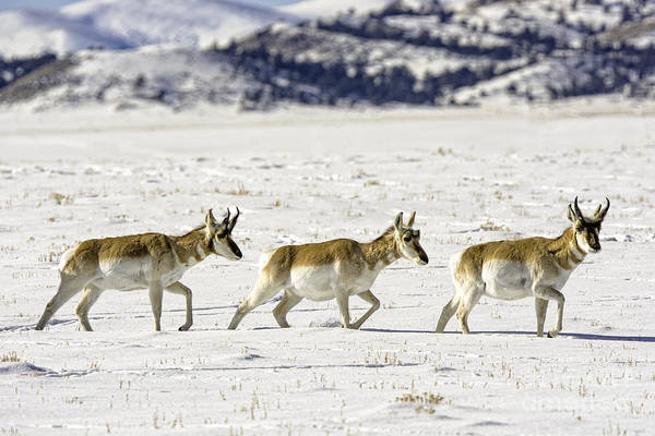Photograph - Pronghorns by Bitter Buffalo Photography