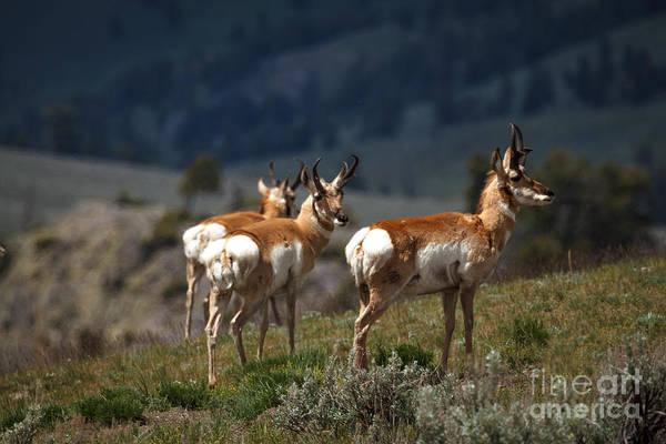 Pronghorn Photograph - Pronghorns by Robert Bales