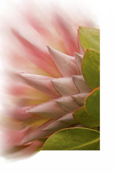 Digital Art - Protea Blossom by Ramona Murdock