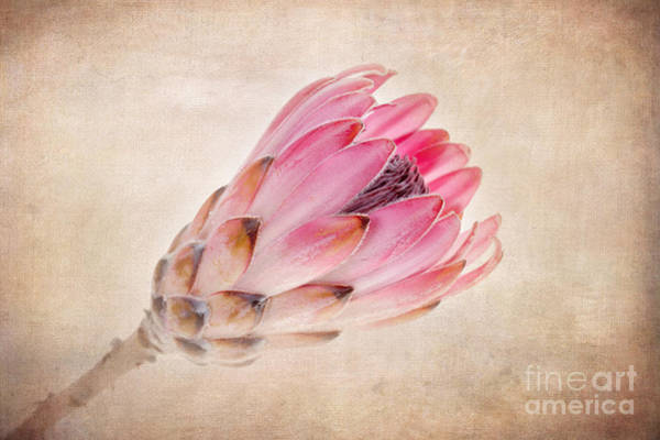 Flower Head Photograph - Protea Vintage by Jane Rix