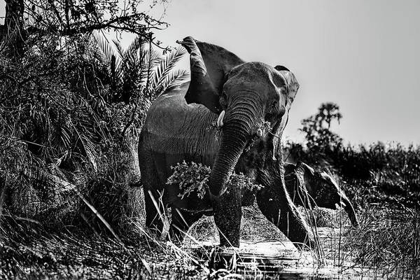 Photograph - Protective Mama Elephant In Black And White by Kay Brewer
